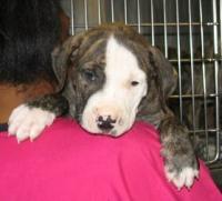 Kory Aversa Damon Buster Brown Shelter Dog Humane Society Pit Bull Rescue